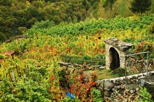 vigne e vendemmia